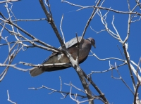band_tailed_pigeon