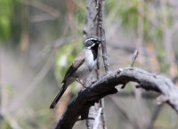 black_throated_sparrow