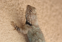clarks_spiny_lizard