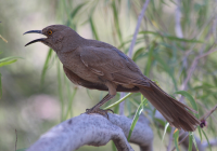 curve_billed_thrasher
