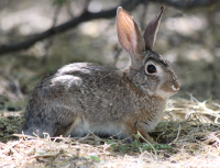 desert_cottontail