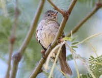 Northern-beardless tyrannulet