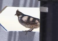 scaled_quail