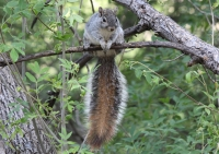 western_gray_squirrel