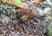 alberts-lyrebird