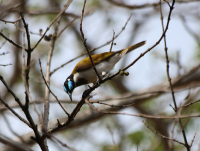 blue-faced-honeyeater