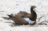 brown-booby3