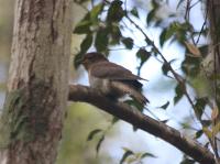 fan-tailed-cuckoo