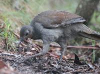 lyrebird2