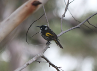 new-holland-honeyeater