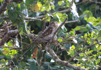 papuan-frogmouth