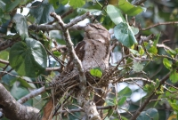 papuan-frogmouth2