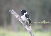 pied-butcherbird