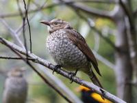 regent-bowerbird-juv-male2