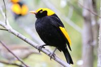 regent-bowerbird-male