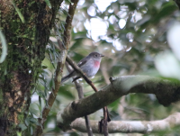 rose-robin