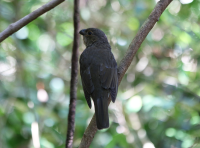 tooth-billed-bowerbird