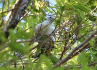 torresian-pigeon