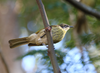 varied-honeyeater
