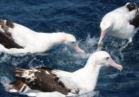 wandering-albatross1