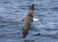 white-capped-albatross2