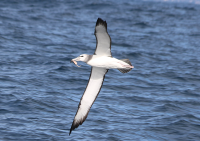 white-capped-albatross3