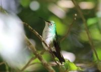 Female coppery-headed emerald