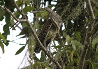 Fasciated-tiger heron