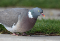 wood-pigeon2