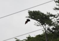 Flying Fox