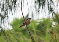 Female vanikoro flycatcher