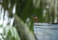 Female vanikoro flycatcher