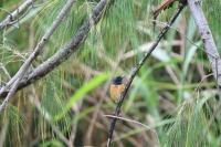 Male vanikoro flycatcher