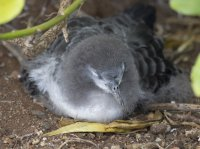 Juvenile wedge-tailed shearwater