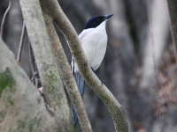 azure-winged-magpie1