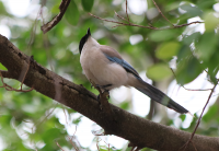 azure-winged-magpie2