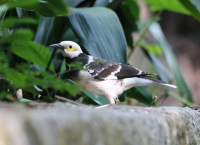 black-collared-starling