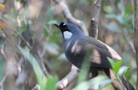 black_throated_laughingthrush2