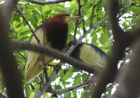 chinese-pond-heron