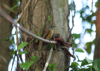 ferruginous_flycatcher