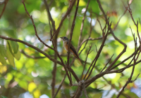 ferruginous_flycatcher2