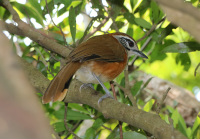greater_necklaced_laughingthrush
