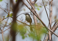 yellow_bellied_prinia