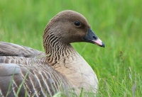 ping-footed-goose1