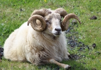 A seriously cool sheep