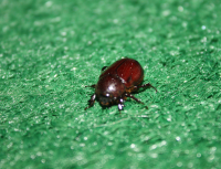 Mystery beetle