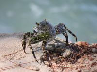 Cool crab