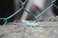 Gecko?