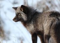 black_fox1