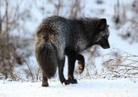 black_fox2